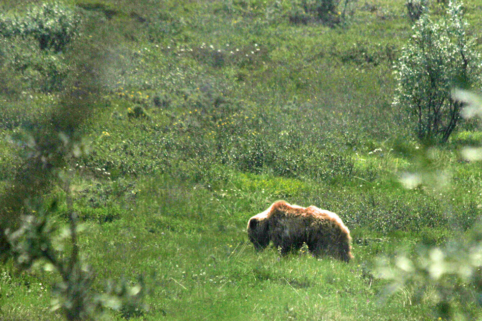 Observing a brown bear in the Alaska wilderness.