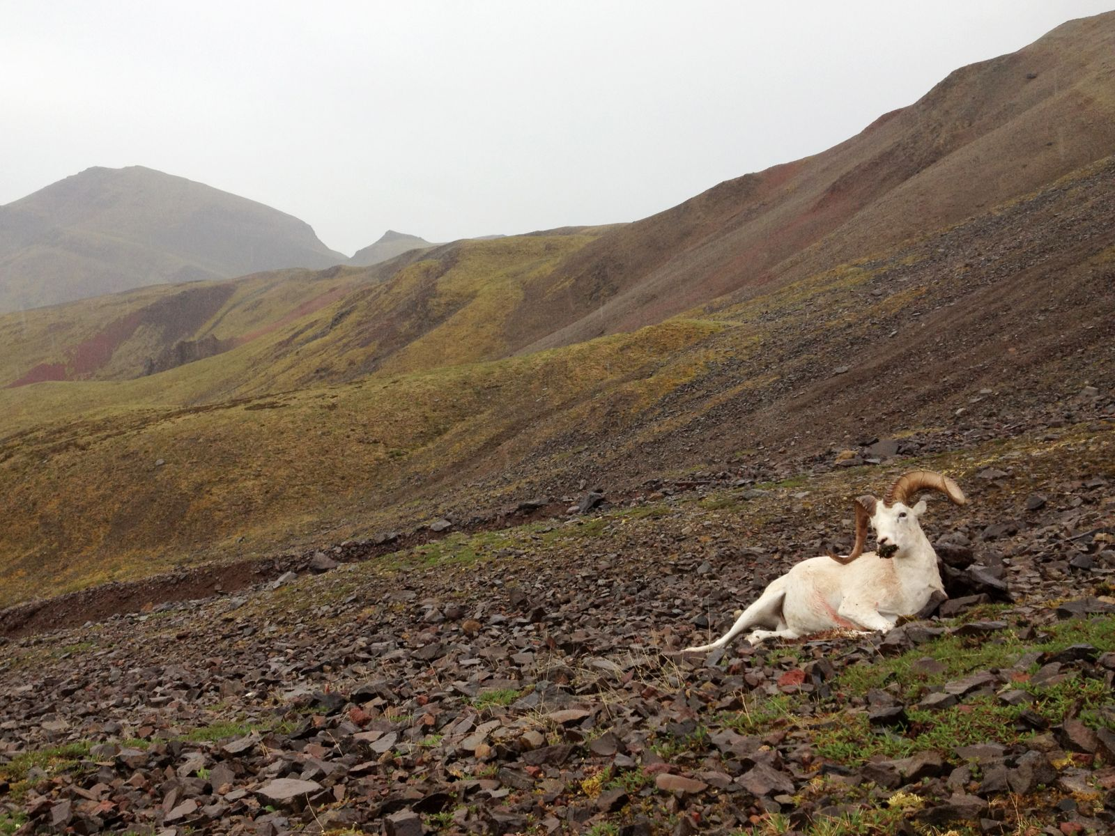 Wrangell-St.Elias Dall's Sheep.